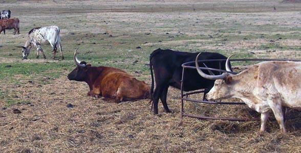 Oklahoma Longhorns
