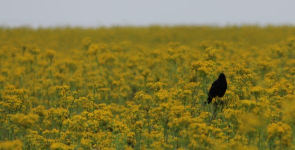 A bird sits perched in a field of weeds.