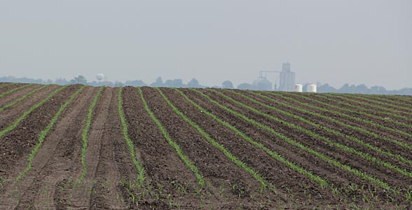 Newly emerged corn fields near Clinton, Ill.