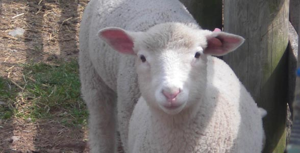 Sheep at Eastern Agricultural Research Station at Ohio State University