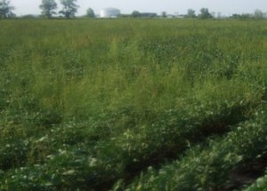 Common waterhemp in a soybean field