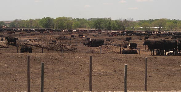 Cattle feedlot near Milford, Nebraska.