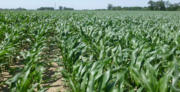 Some of the taller corn in Pike County, Il., June 12, 2013.