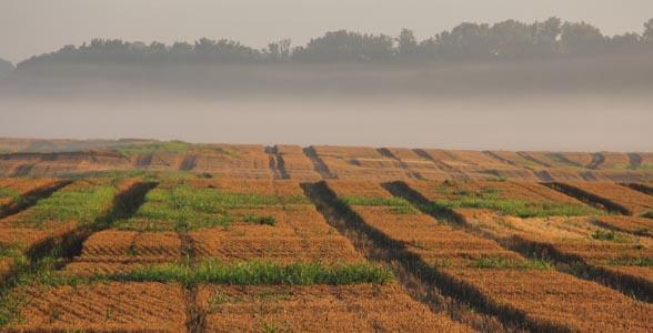 Fog in an Indiana wheat field