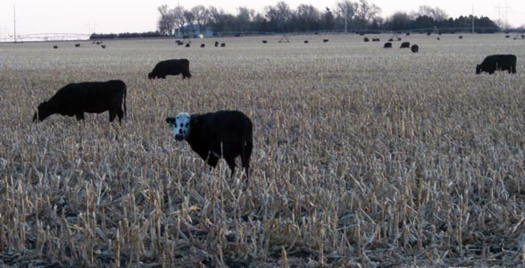 Cattle graze cornstalks on a cold morning in central Nebraska.