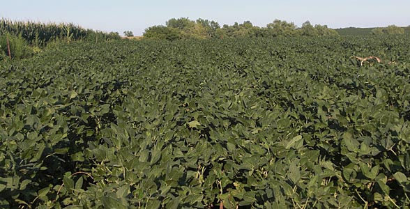 Soybeans near Cortland in southeast Nebraska.