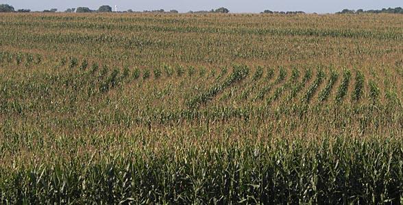 Corn Near Wymore In Southeast Nebraska