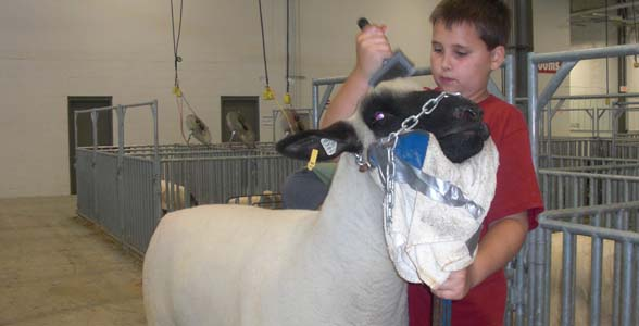 Thirteen-year old Dylan Klug of Grafton, Wisconsin prepares his Hampshire yearling ewe for the Open Sheep Show at the Nebraska State Fair.