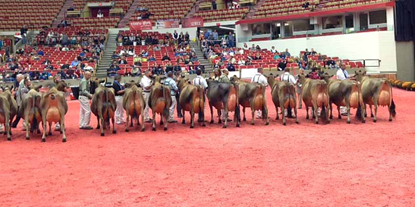 h2014-6 year old Jersey cow lineup at World Dairy Expo