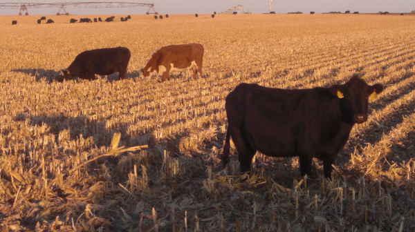 cattle on stalks-central Nebraska 11-14