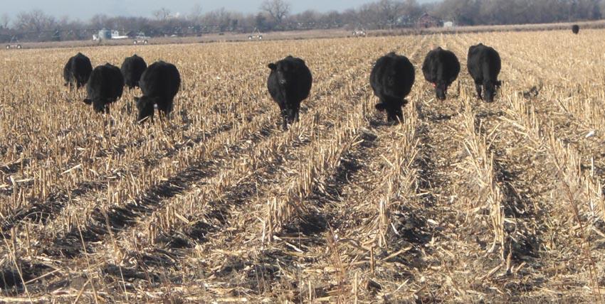 cattle on stalks