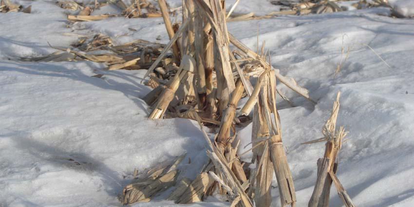 corn stalks in snow feb 2011