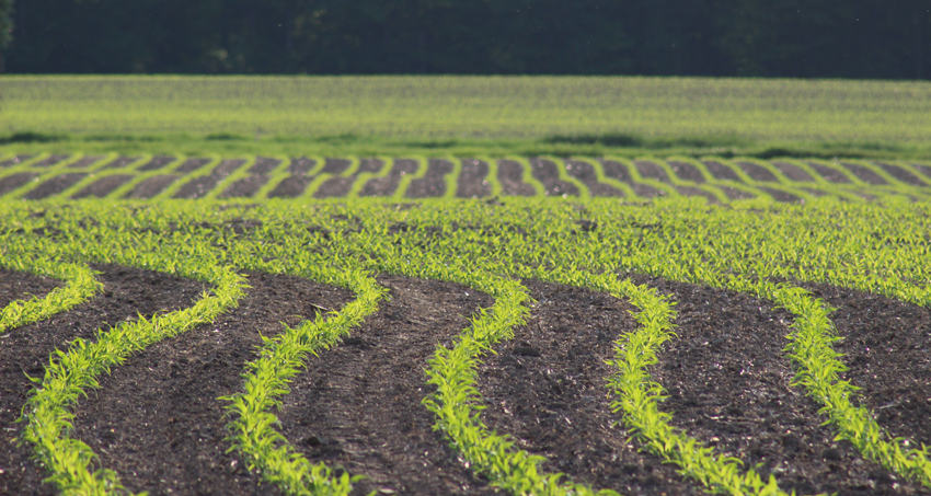 Corn in NW Ohio_052315