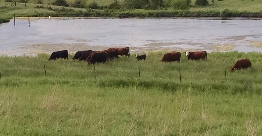 cattle on pasture-sw iowa 5-15