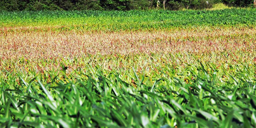 062415-uneven-corn-field-in