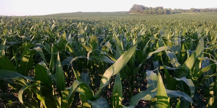 062915-Corn-field-near-Ashl