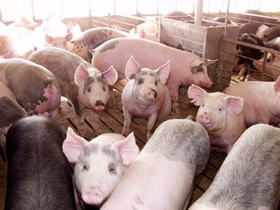pigs-ia swine day 6-15