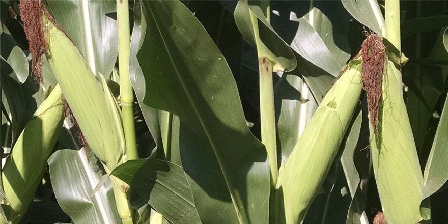 073115-Corn-field-is-east-c