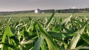 corn southeast nebraska 6-15