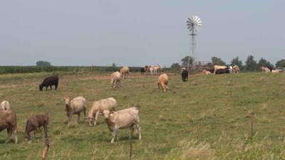 cattle grazing-southwest iowa