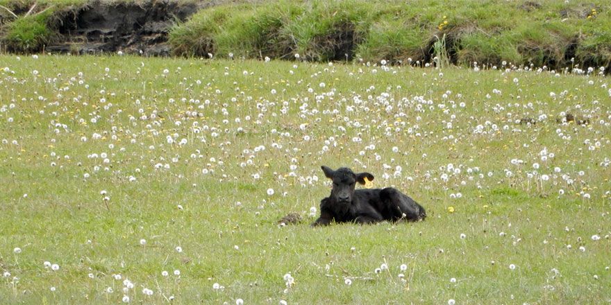 A-spring-calf-lounges-among