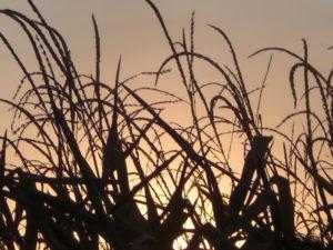 Corn-nebraska sunset 8-12