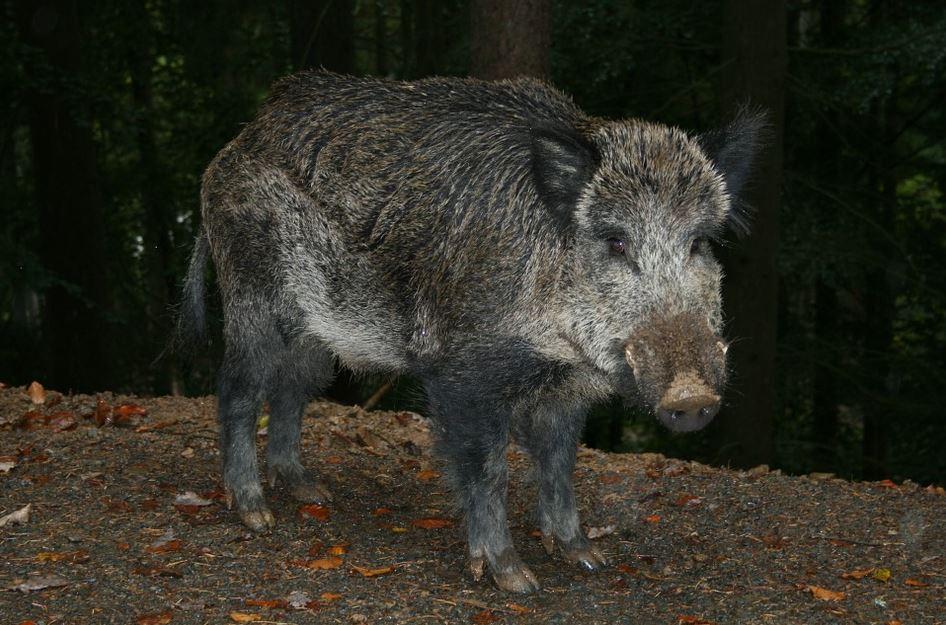 Feral hog hunting now illegal on Missouri public lands