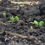 Benefits of early soybean planting