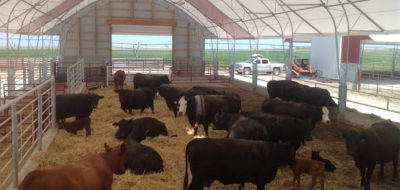 Growing Interest In Cow Calf Confinement Production