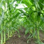 NCGA says farm safety net programs necessary