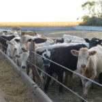 For cattle minerals, one size does not fit all