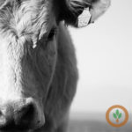 Cattle futures close lower on profit-taking
